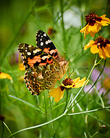 Painted Lady Butterfly on a Coreopsis Flower. Image taken with a Nikon 1 V3 camera and 70-300 mm VR lens.