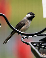 Black-capped Chickadee. Image taken with a Nikon D5 camera and 200-500 mm f/5.6 VR lens.
