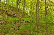 Hardwood forest in spring.  Golden Horseshoe. Niagara Peninsula.<br />Vineland<br />Ontario<br />Canada