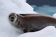 "Crabeater seal. Crabeaters are perhaps the ""second most numerous large species of mammals on Earth, after humans"" with populations of around 50 million."