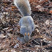 USA/New Yok/20120301 - New York, eekhoorns in Batterypark
