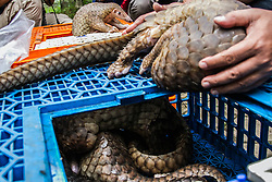 June 21, 2017 - A pictures available taken on June 14, 2017 seen showing, the living pangolin was shown for a press conference by forest ranger in an anti-smuggling attack in Medan, North Sumatra Province, Indonesia. A total of 1 ton of pangolin animals that live and die as endangered animals will be sent to Malaysia illegally by sea, of which 110 of the 225 pangolins found in the raid by navy personnel at Belawan port in Medan were alive. Indonesian authorities say they arrested two suspected wildlife smugglers after a raid on a port warehouse in Sumatra uncovered more than 200 pangolins, many of them dead from stress and dehydration. the smuggling of 1 ton of pangolin worth 2.5 billion rupiah (about 190.000 USD), the plan will be used as the material of the shabu. The animal's skin will be processed into a shabu in Malaysia and will be sent back to Indonesia after becoming medicines. The creature's meat is also valuable as an edible delicacy and a physical part as a traditional herb in some parts of Asia - especially China - and Africa. According to the WWF report as much as 80% of the pangolin population in Asia is lost within 10 years. (Credit Image: © Albert Damanik via ZUMA Wire)
