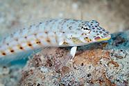 Parapercis clathrata (Latticed Sandperch)