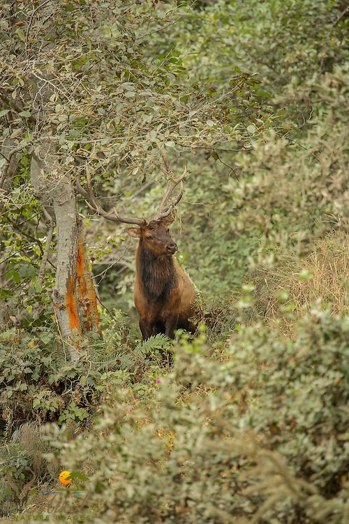 Bull elk making rubs