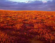 CADSE_103 - USA, California, North Algodones Dunes Wilderness, Sunset on desert sand verbena and dune evening primrose growing on edge of dunes.