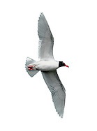 Mediterranean Gull Larus melanocephalus L 36-38cm. Similar to Black-headed but has stouter bill; adult has uniformly pale wings. Sexes are similar. Adult in summer has pale grey back and wing coverts, and white flight feathers. Note black hood and white 'eyelids'; bill is mainly red, with yellow tip and black sub-terminal band. Legs are deep red. In winter, loses dark hood; whitish head has menacing look created by dark smudges. Juvenile has grey-brown upperparts with pale margins to back feathers. Note darkish flush on breast. Bill and legs are dark; tail has dark terminal band. 1st winter bird is similar to juvenile but with plain grey back and dark smudges on head. Adult plumage is acquired by 3rd winter. 2nd year bird resembles adult (at respective times of year) but with variable black in wingtips. Voice Utters cow-cow-cow call. Status Very locally common, usually with Black-headeds. Small numbers nest in S England. More widespread outside breeding season.