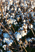Cotton crop, Gossypium hirsutum, growing in plantation in the Deep South, Mississippi, USA