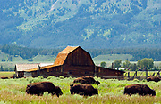 A herd of Bison are moving through the grass field in front of Moulton Ranch, Grand Teton Natl. Park, WY (Raw to JPEG).