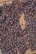 Appassimento process for Zibibbo grapes on Pantelleria, Sicily, Italy.