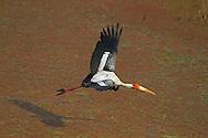 Painted Stork, Mycteria leucocephala, in flight, Bharatpur, Keoladeo N.P. India