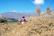 India, Ladakh region state of Jammu and Kashmir, Leh, farmers working in their fields, separating the chaff from the straw