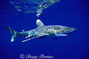 oceanic whitetip shark, Carcharhinus longimanus, off Kona, Hawaii ( the Big Island ), USA ( Central Pacific Ocean )