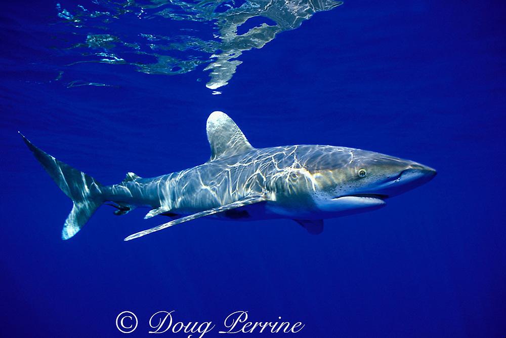 oceanic whitetip shark, Carcharhinus longimanus, off Kona, Hawaii ( the Big Island ), USA ( Central Pacific Ocean )