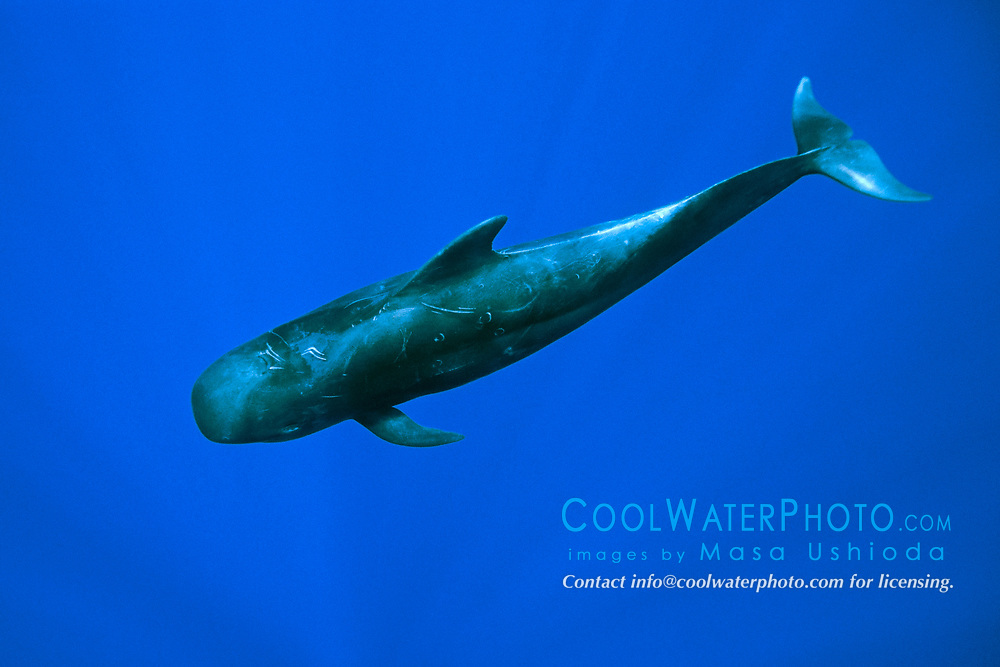 short-finned pilot whale, Globicephala macrorhynchus, offshore, Kona Coast, Big Island, Hawaii, USA, Pacific Ocean