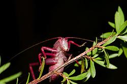 Red Bush Cricket, Katydid, Caedicia simplex