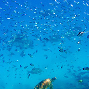 Underwater shot of turtle and fish on the Great Barrier Reef at Lady Elliot Island