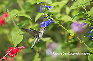 01162-15212 Ruby-throated Hummingbird (Archilochus colubris) at Blue Ensign Salvia (Salvia guaranitica ' Blue Ensign') in Marion County, IL