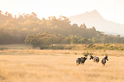 View of Impalas family in savannah in Milwane Wildlife Sanctuary, Eswatini