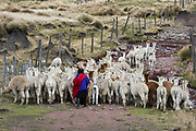 Local Quichua Indian & alpaca (Vicugna pacos)<br /> Domestic herd<br /> near Chimborazo<br /> Ecuador, South America
