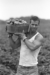 Man in a field carrying a basket of potatoes