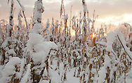 Pocatello, NY - A cornfield is covered in snow at daybreak on the morning after a storm on Dec. 6, 2009.