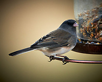 Dark-eyed Junco. Image taken with a Nikon D850 camera and 500 mm f/4 VR telephoto lens (ISO 90, 500 mm, f/4, 1/500 sec).
