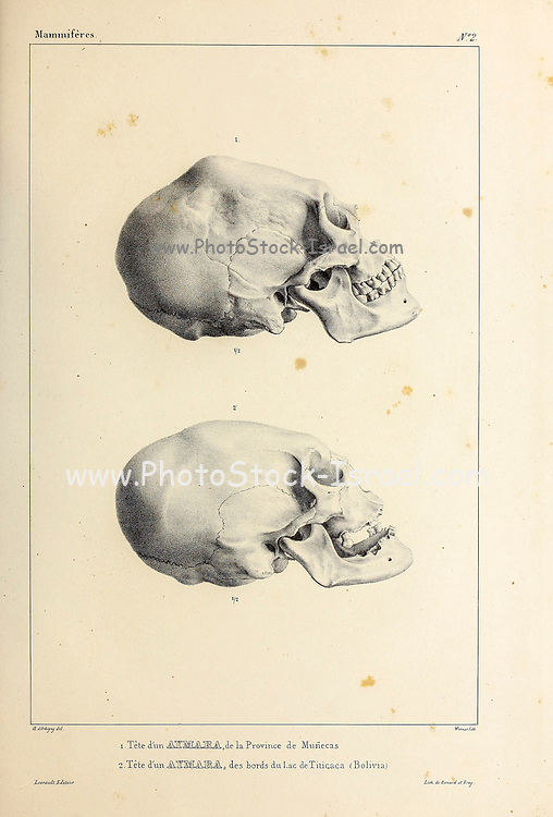 Skull of an Aymara Indian from Monecas, Bolivia (Top) and Skull of an Aymara Indian from Lake Titicaca Bolivia (Bottom) hand coloured sketched From the book 'Voyage dans l'Amérique Méridionale' [Journey to South America: (Brazil, the eastern republic of Uruguay, the Argentine Republic, Patagonia, the republic of Chile, the republic of Bolivia, the republic of Peru), executed during the years 1826 - 1833] 4th volume By: Orbigny, Alcide Dessalines d', d'Orbigny, 1802-1857; Montagne, Jean François Camille, 1784-1866; Martius, Karl Friedrich Philipp von, 1794-1868 Published Paris :Chez Pitois-Levrault et c.e ... ;1835-1847