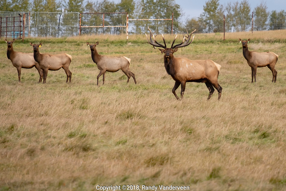 Photo Randy Vanderveen<br /> Grande Prairie, Alberta<br /> 2018-09-26<br /> A bull elk stands guard over his harem in a pasture at an elk farm north of Beaverlodge Wednesday. While elk raised on a farm like this can be slaughtered and sold if it is done at a facility that also inspects meat, hunted meat or animals slaughtered at the farm can not. Some hunters and producers in Alberta are hoping that law can be changed.