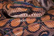 Rainbow Boa (Epicrates cenchria cenchria)<br /> Amazon<br /> ECUADOR<br /> Vivarium ID # 3624<br /> Captive<br /> juvenile