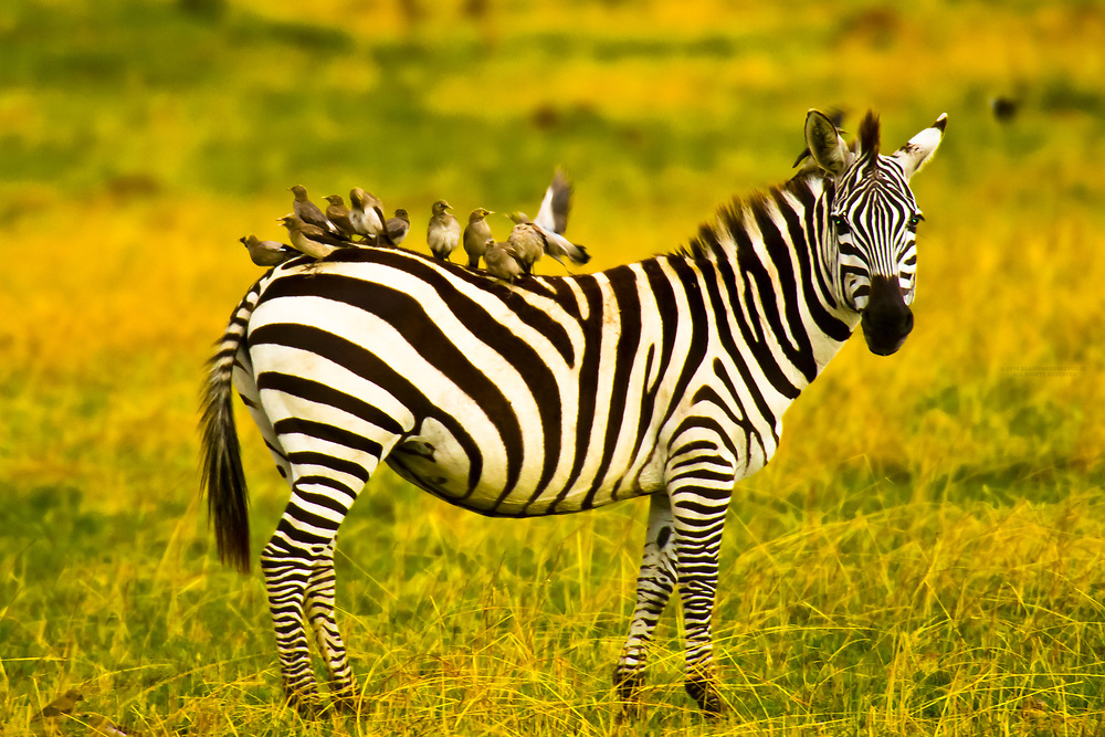 A zebra with it's back covered with birds, Masai Mara National Reserve, Kenya