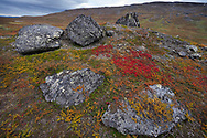 The red leaves of the alpine bearberry, mountain bearberry, or black bearberry, Arctostaphylos or Arctuo alpinus, Kårsavagge, Abisko National Park, Norrbotten, Lapland, Sweden