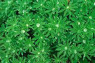 Lupin leaves, Yukon