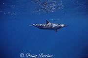 spinner dolphin, Stenella longirostris, Kona, Hawaii ( the Big Island ), USA ( Central Pacific Ocean )
