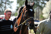 27 March 2010 : SUNSHINE NUMBERS is walked around the paddock before the Gr. II feature race of the day, the Carolina Cup.