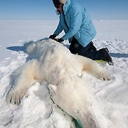USGS assistant, Karyn Rode, preparing to collect data from a small, female, polar bear. Beaufort Sea ice pack.