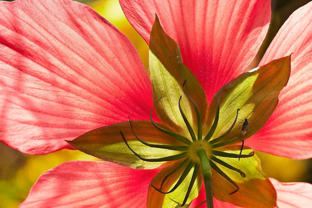 Hibiscus Underworld