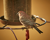 House Finch. Image taken with a Nikon D5 camera and 600 mm f/4 lens (ISO 500, 600 mm, f/4, 1/1250 sec).