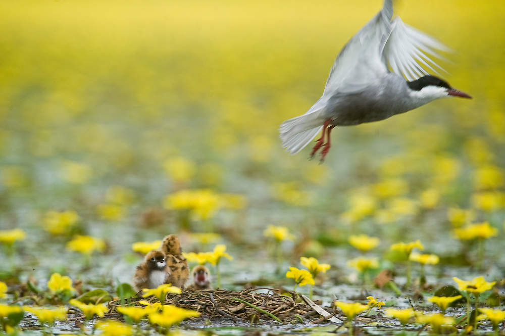 Whiskered Tern (Chlidonias hybridus) and its chicks on water covered with yellow floating heart (Nymphoides peltata) in Hortobagy National Park, Hungary