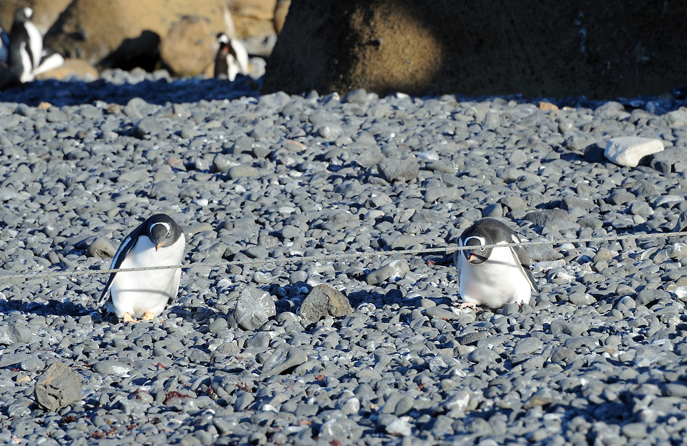 Two young  gentoo penguins (Pygoscelis papua) are clearly puzzled by a mooring rope and can't decide how to get past it. Brown Bluff, Antarctic Peninsula. Antarctica. 01Mar16