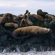 Northern Fur Seal, (Callorhinus ursinus)  On rocks near Kodiak Island. Alaska.
