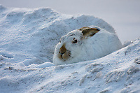 A White-tailed Jackrabbit in winter colors relaxes in a snow drift...©2009, Sean Phillips.http://www.Sean-Phillips.com