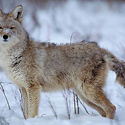Coyote, (Canis latrans) Adult in foothills of Rocky mountains. Montana. Captive Animal.
