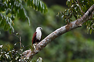 """Brahminy kite (Haliastur indus), Raja Ampat, Western Papua, Indonesian controlled New Guinea, on the Science et Images """"Expedition Papua, in the footsteps of Wallace"""", by Iris Foundation"""