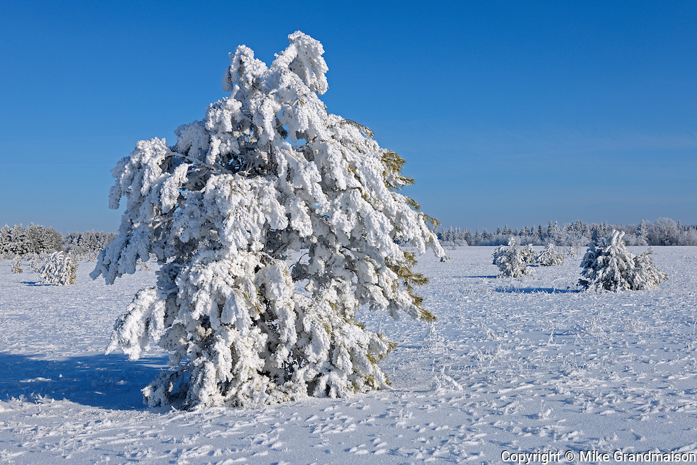 Hoarfrost covered trees<br />Birds Hill Provincial Park<br />Manitoba<br />Canada