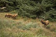Bull elk and cow harem