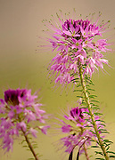 A purple spider flower decorates the landscape in southern Colorado.