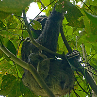 A Three-toed Sloth climbs a tree in Peru's Amazon Jungle. (Shot in the wild.)