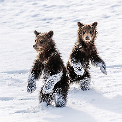 Bad News Bears, play time in Grizzly Country.   These guys were so fun to shoot I couldn't stop laughing, amazing I got anything in focus.