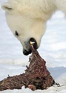 Polar Bear, Ursus maritimus, feeding, Svalbard, Norway