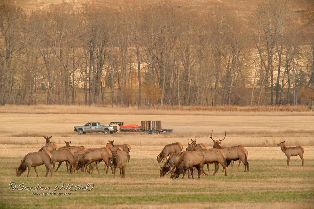 A ranch truck drives past a herd of Elk (Cervus canadensis) grazing in a field near Bozeman, Montana.